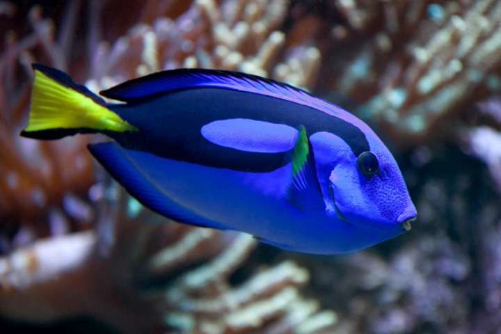 tang What kind of fish is Dory in Finding Nemo