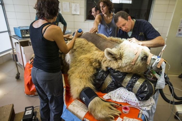 14096345801789 bear surgery 03 550 pound bear undergoes surgery. Check out these AMAZING pictures!