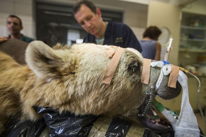 14096345812091 bear surgery 05 550 pound bear undergoes surgery. Check out these AMAZING pictures!