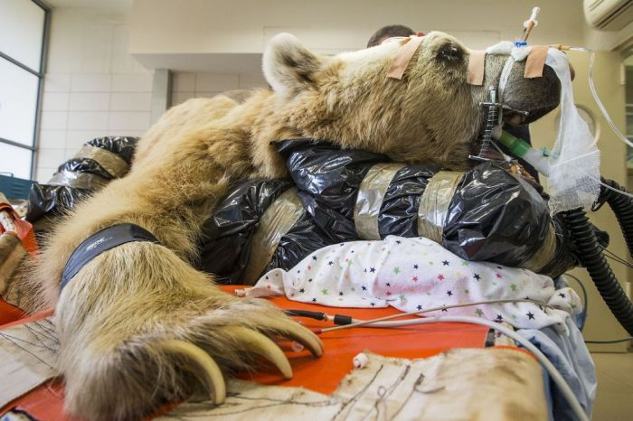 1409634581217 bear surgery 10 550 pound bear undergoes surgery. Check out these AMAZING pictures!