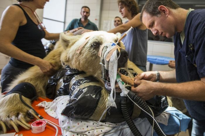 14096345812420 bear surgery 04 550 pound bear undergoes surgery. Check out these AMAZING pictures!