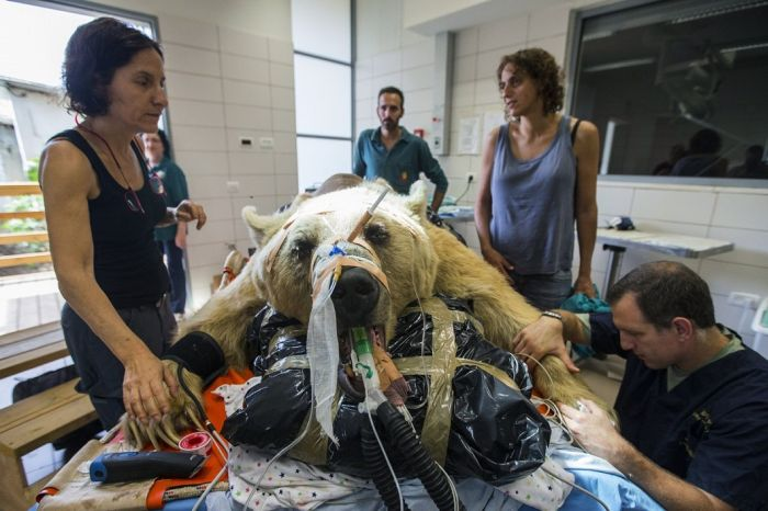14096345813577 bear surgery 07 550 pound bear undergoes surgery. Check out these AMAZING pictures!