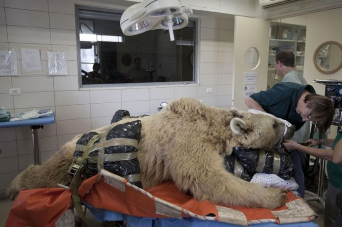 1409634581935 bear surgery 06 550 pound bear undergoes surgery. Check out these AMAZING pictures!