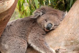 istock 000008832098 small 303x204 Why Are Koalas Always Hugging Tree Trunks?