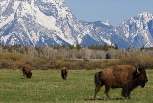 istock 000009625863 small 303x204 Are Buffalo and Bison The Same Animal?
