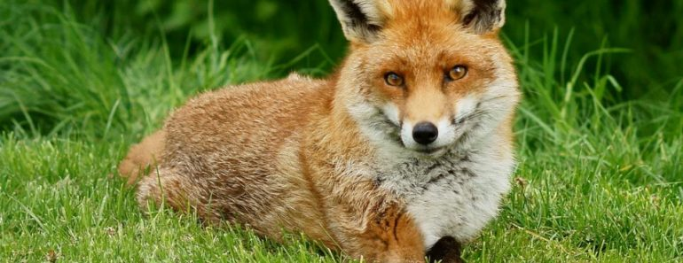 What does the fox actually say